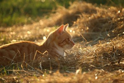 nature, domestic cat, hay, outdoor, grass, animal
