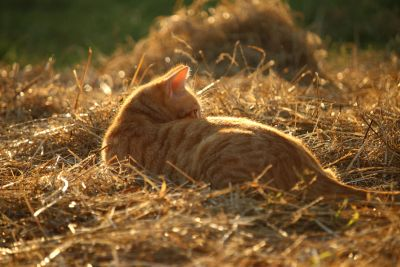 fieno, estate, sole, gatto domestico, erba, natura, animale, giallo gatto