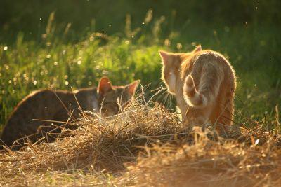 erba, fauna, animale, natura, gatto domestico, gattino, fieno