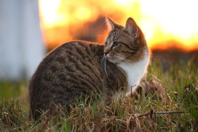 cute, sunset, animal, cat, nature, fur, feline, grass, kitten, pet