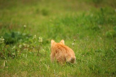 animal, nature, chat domestique, herbe verte, printemps, champ