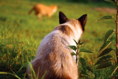 自然, 动物, 野生动物, 动物, 草, 自然, 暹罗猫