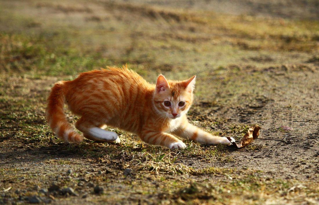 životinja, slatka, prirodi, mačka, mače, trava, krajolik, ljeto, mačji, Mac, ljubimac, krzno