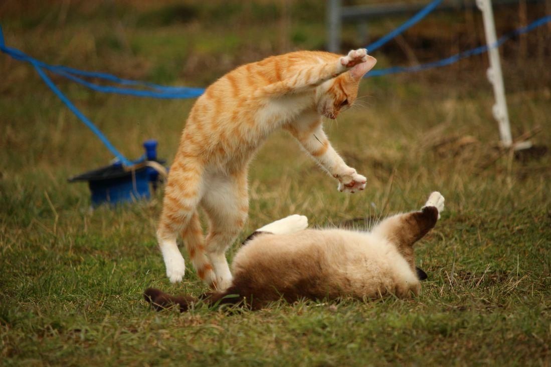 erba, pelliccia, gatto, animale, giocoso, erba, all'aperto, della fauna selvatica