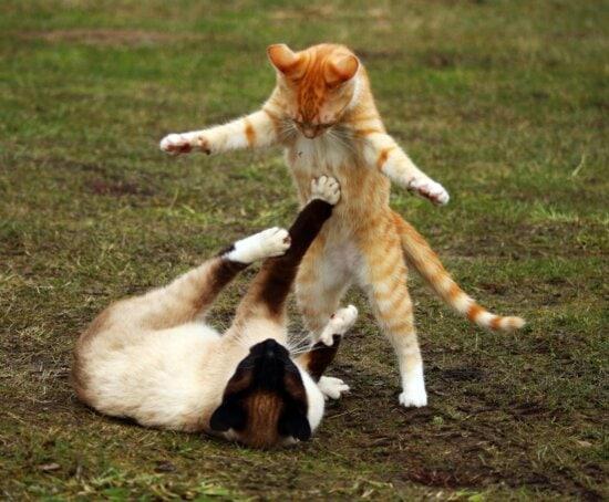 gato, pasto de animales, mascotas, juguetón, Linda, hierba,