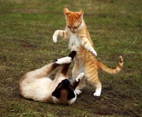 gato, lindo, animal, piel, animal doméstico, hierba, correa, gato doméstico