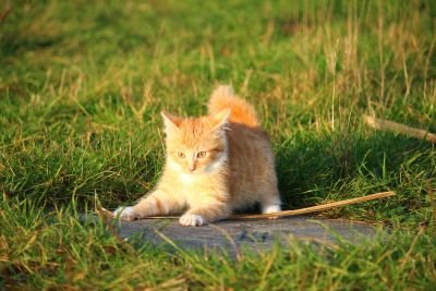 cute, grass, cat, fur, kitten, grass, feline, pet