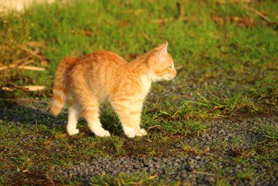 cute, cat, animal, fur, grass, feline, grass, outdoor, kitty, kitten