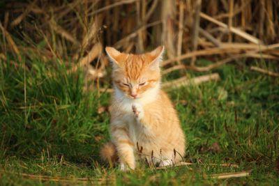 Cat, roztomilý, zvířecí, tráva, příroda, portrét, kožešiny, oko, pet, mladá, kotě, wildlife
