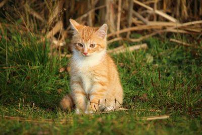 cute, cat, animal, nature, eye, grass, portrait, fur, young, kitten, pet