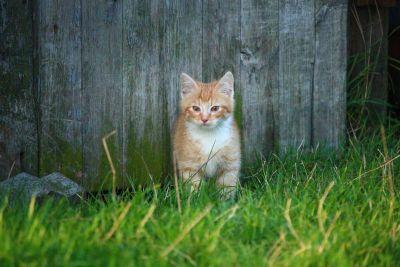 naturaleza, hierba, gatito, patio trasero, hierba, primavera, gato, felino, kitty, piel, mascota