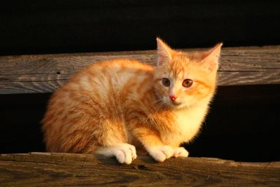 cat, cute, pet, animal, kitten, young, feline, kitty, playful, outdoor