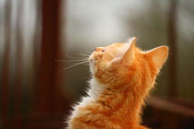 pour animaux de compagnie, mignon, portrait, animaux, chaton, félin, chat, fourrure