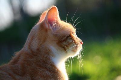 Crna maca izbliza