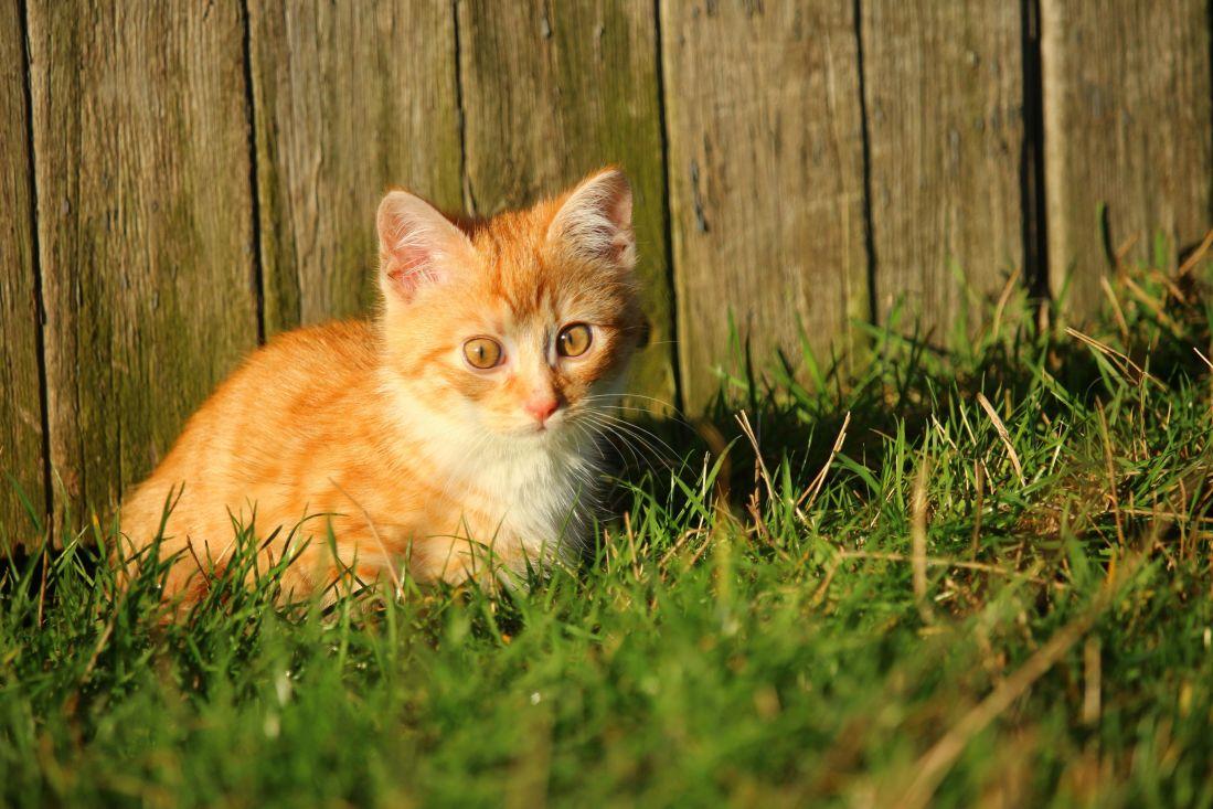 gatto, carino, animale, erba, gattino, giovane, felino, kitty, cortile, giocoso