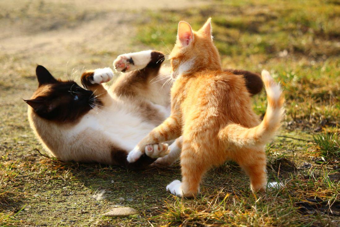 animali, carino, pet, gatto, giocoso, all'aperto, terra, erba, gatto domestico