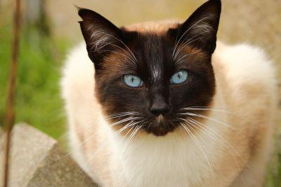 mačka, roztomilý, zvieratá, domáce zvieratá, kožušinové, mačky, mačiatko, oči, fúzy