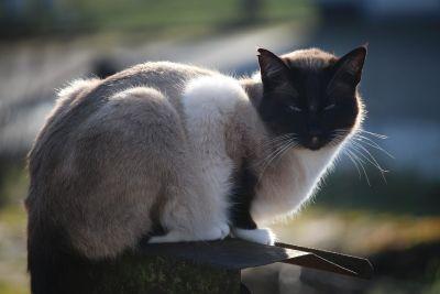 kissa, muotokuva, eläin, lemmikki, ulkona, harmaa