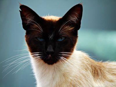Cat, søt, pet, dyr, portrett, feline, kattunge, pels
