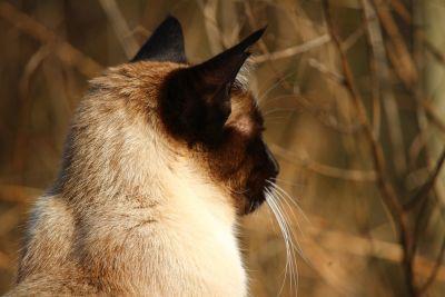 chat, portrait, animaux, félin, fourrure, animal, chaton, chat siamois, plein air