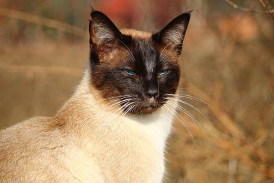 chat, mignon, chat siamois, animal, portrait, nature, chaton, félin, oeil,