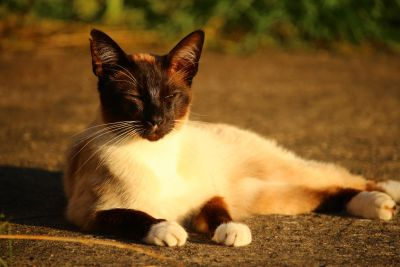 cat, feline, pet, kitten, siamese cat, outdoor, kitty, fur, whiskers, cute