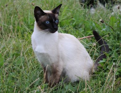 mačka, roztomilý, zvieratá, domáce zvieratá, mačiatko, siamská mačka, tráva, kožušiny, oko, portrét, mačací