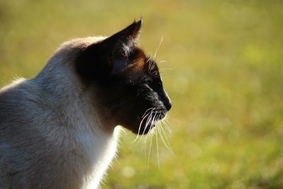cat, animal, siamese cat, nature, portrait, feline, fur, pet