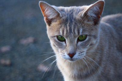 gatto, animale, carino, pet, testa, urbano, gattino, all'aperto, felina, pelliccia, kitty, baffi