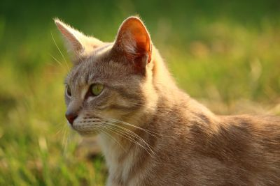 yellow cat, animal, outdoor, yellow, grass, nature, eye, fur, whisker