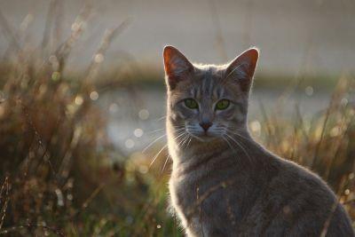 υπαίθριο, εσωτερικό γάτα, γρασίδι, καλοκαίρι, φύση, σκιά, κατοικίδιο ζώο