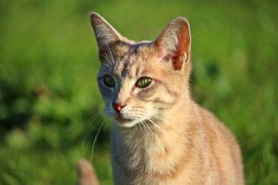 animal, nature, chat mignon, jaune, félin, chaton, chat, animaux de compagnie
