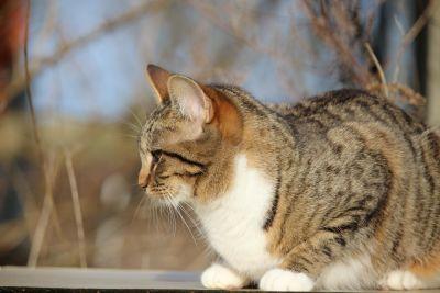 szürke macska, állat, kisállat, portré, aranyos, természet, szőrme, cica