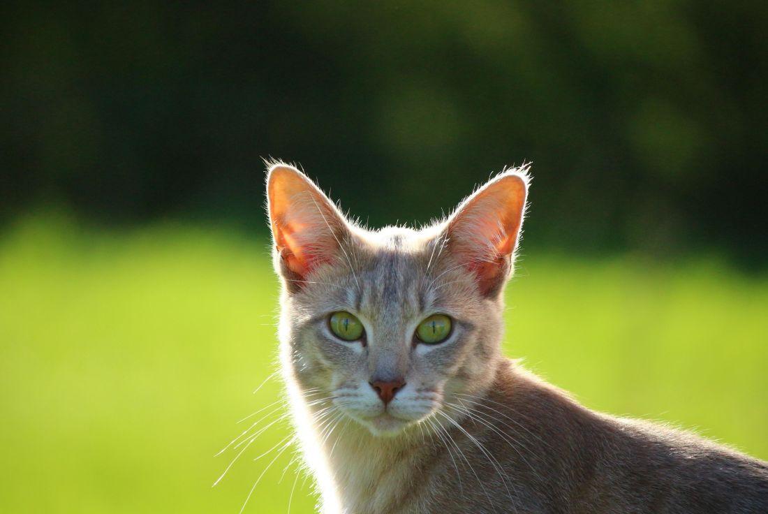 slatka, žuta mačka, prirode, životinja, oko