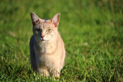 green grass, animal, yellow cat, cute, nature, meadow, pet