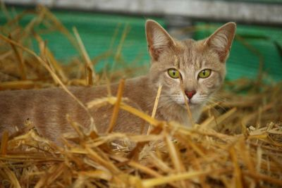 hay, grass, animal, cute, cat, nature, kitten, feline, fur, kitty