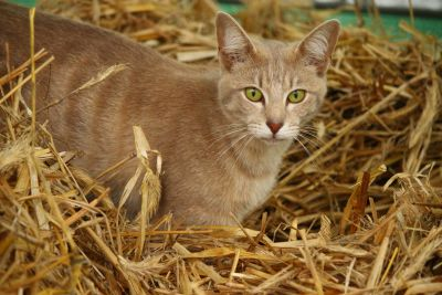 cute, nature, yellow cat, hay