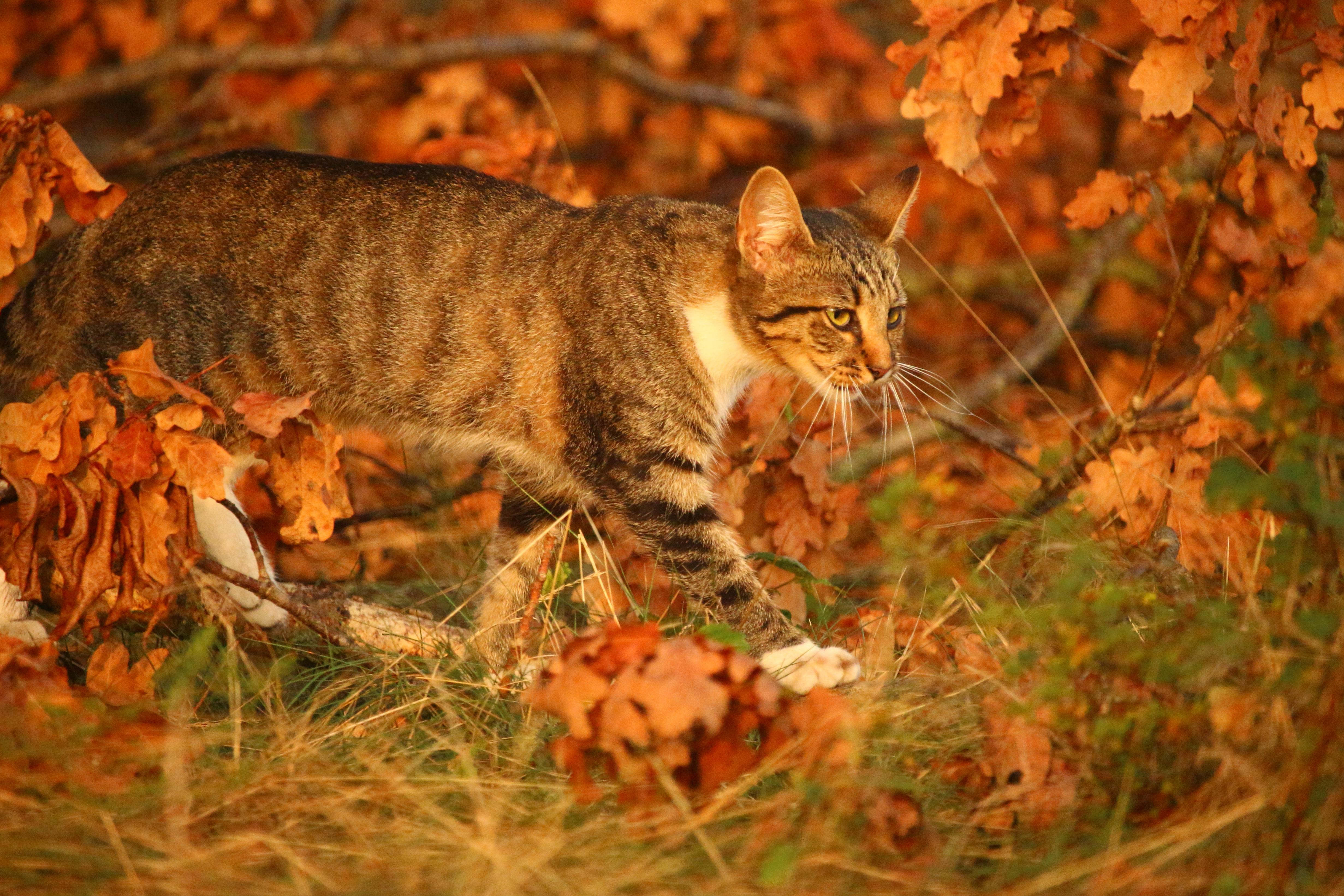 Fabulous Gratis afbeelding: kat, natuur, cute, dieren, portret, herfst #AQ99