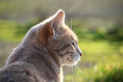 kočka domácí, příroda, zvíře, přírody, kožešiny, zelené trávy