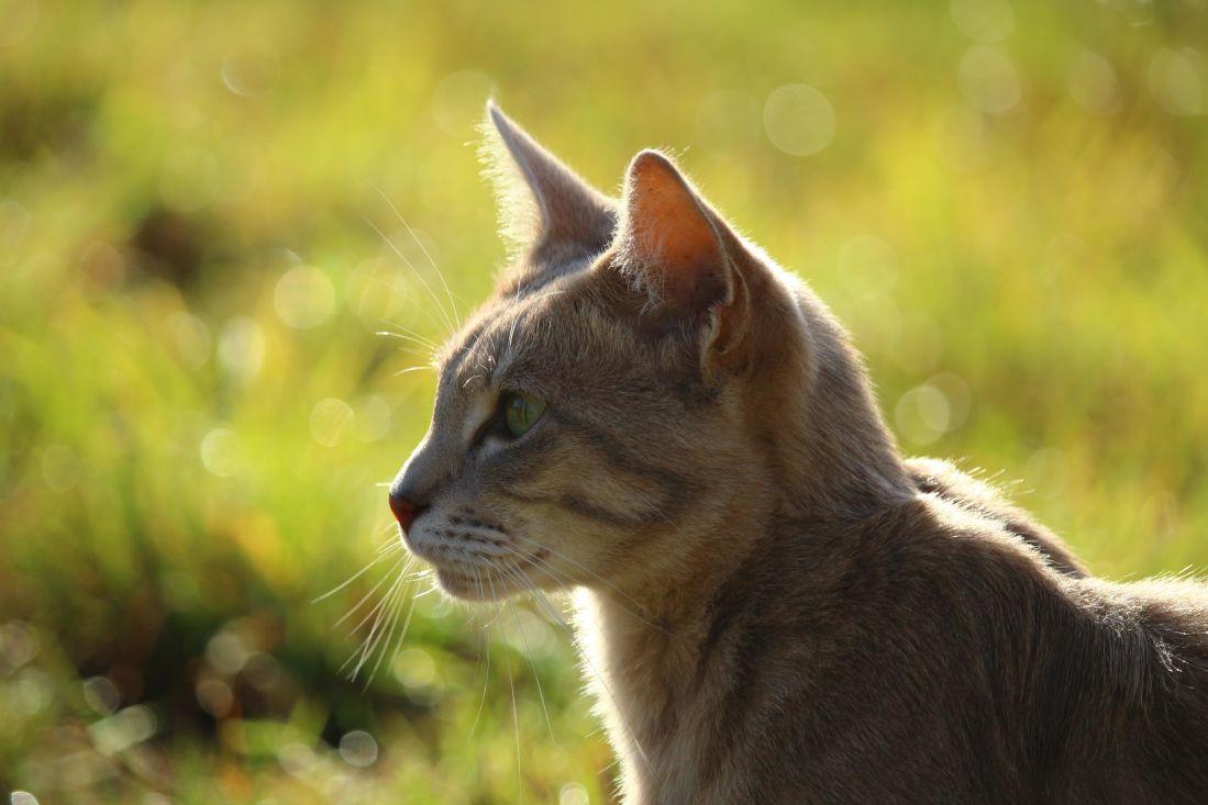 animal, lindo, retrato de gato, piel, naturaleza, felino, mascotas