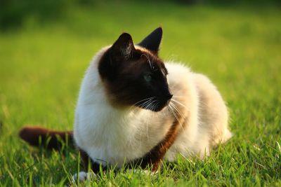 trawa, Syjamski Kot, wiosna, zwierząt, kot, Ładna, kotów, zwierząt
