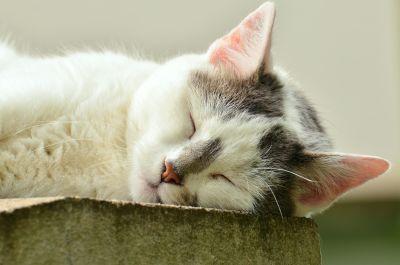 blanc de sommeil, chaton, animaux, animal, mignon, portrait, fourrure, chat, félin