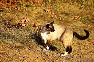 siamese cat, animal, ground, summer, grass, kitten, vertebrate