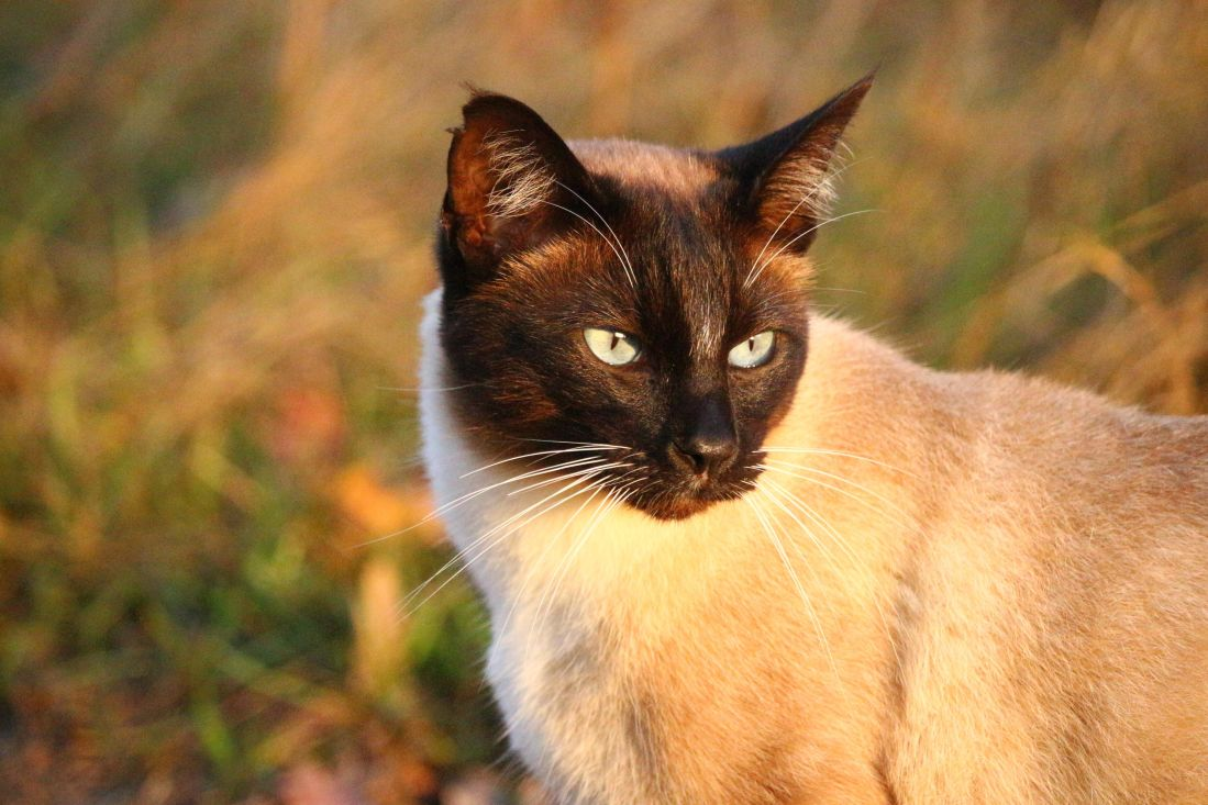siamese cat, head, domestic cat, animal, nature, eye, feline, kitten, fur