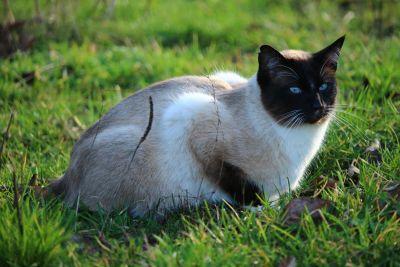 gato, animal, lindo, animal doméstico, retrato, Gato siamés, hierba, gatito, naturaleza, felino