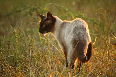 wildlife, animal, grass, nature, cat, siamese cat, feline, fur, pet