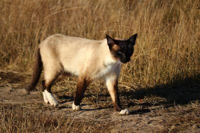 cat, feline, kitten, fur, pet, cute, eyes, kitty, siamese cat, whiskers
