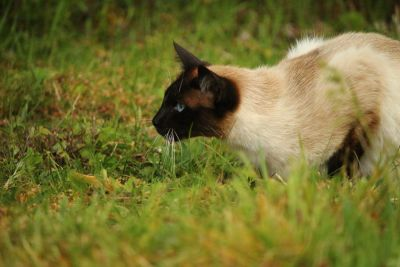 grass, cute, animal, cat, nature, siamese cat, pet, fur