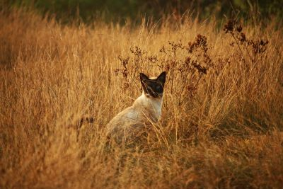 cat, animal, nature, grass, siamese cat, summer, field