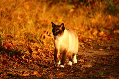 chat, chat siamois, plein air, route, herbe